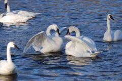 2 лебедя Стоковые Изображения RF