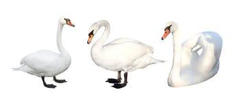 3 лебедя Стоковые Фото
