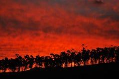 Евкалипт на заходе солнца Стоковая Фотография