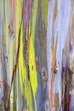 Евкалипт радуги в островах Гаваи Стоковые Фотографии RF
