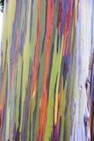 Евкалипт радуги в островах Гаваи Стоковая Фотография