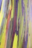 Евкалипт радуги в островах Гаваи Стоковые Изображения RF