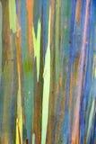 Евкалипт радуги в островах Гаваи Стоковые Изображения