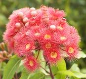 евкалипт цветет вал красного цвета пинка phytocarpa камеди Стоковые Фотографии RF