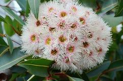 Евкалипт евкалипта белых цветков и плодоовощей Стоковое Изображение RF