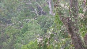 Евкалипт: лишайник покрыл ветви и ветвь цветка гружёную и дистантные ветви видеоматериал