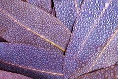 Евкалипт природы фиолетовый выходит с падением дождя воды как abstrac Стоковые Фотографии RF