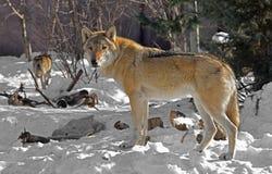 Евроазиатская волчанка волчанки волка волка волки зимы Стоковые Фотографии RF
