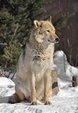 Евроазиатская волчанка волчанки волка волка женщина волка Одн-уха стоковые изображения
