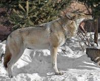 Евроазиатская волчанка волчанки волка волка и зубы волка Стоковые Фото