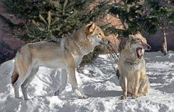 Евроазиатская волчанка волчанки волка волка Пары волков Стоковое фото RF
