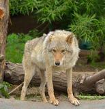 Евроазиатская волчанка волчанки волка волка в лесе Стоковое Изображение
