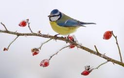 Евроазиатская голубая синица садить на насест на ледяной ветви briar стоковое фото