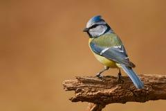 Евроазиатская голубая синица Стоковая Фотография
