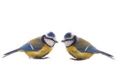 Евроазиатская голубая синица Стоковое Изображение