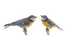 Евроазиатская голубая синица 2 Стоковое Изображение RF