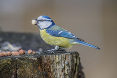Евроазиатская голубая синица (caeruleus Cyanistes или caeruleus Parus) Стоковые Фото