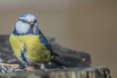 Евроазиатская голубая синица (caeruleus Cyanistes или caeruleus Parus) Стоковые Изображения RF