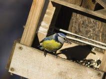 Евроазиатская голубая синица, caeruleus Cyanistes, портрет конца-вверх на фидере птицы с семенами подсолнуха в клюве, селективном Стоковая Фотография