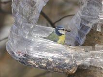 Евроазиатская голубая синица, caeruleus Cyanistes, портрет конца-вверх на фидере птицы с семенами подсолнуха в клюве Стоковые Фотографии RF