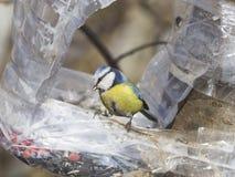Евроазиатская голубая синица, caeruleus Cyanistes, портрет конца-вверх на фидере птицы сделанном от пластичной бутылки, селективн Стоковая Фотография RF