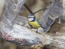 Евроазиатская голубая синица, caeruleus Cyanistes, портрет конца-вверх на фидере птицы сделанном от пластичной бутылки, селективн Стоковое Изображение