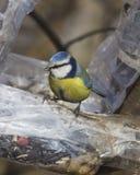 Евроазиатская голубая синица, caeruleus Cyanistes, портрет конца-вверх на фидере птицы сделанном от пластичной бутылки, селективн Стоковое Изображение RF