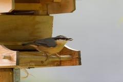 Евроазиатская деревянная птица поползневого с семенами подсолнуха в своем клюве на a Стоковые Фото