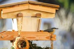 Евроазиатская деревянная птица поползневого с семенами подсолнуха в своем клюве Стоковая Фотография