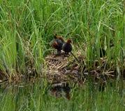 Евроазиатская или общая простофиля, atra fulicula, утята Стоковая Фотография