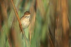 Евроазиатская камышовая певчая птица в среду обитания природы Стоковые Изображения
