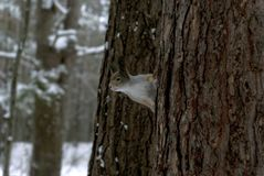 Евроазиатская красная белка в сером пальто зимы с ух-вихорами в лесе зимы покрытом снег в зоне Ural Стоковые Фотографии RF