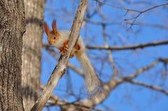 Евроазиатская красная белка подготавливает поскакать от ветви к ветви Стоковые Фотографии RF