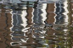 Евроазиатская простофиля Стоковая Фотография RF