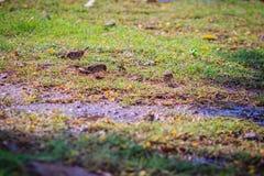 Евроазиатская птица воробья дерева ищет еда на поле травы внутри Стоковые Фотографии RF