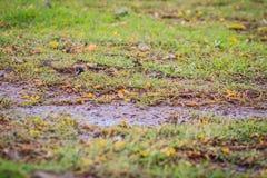 Евроазиатская птица воробья дерева ищет еда на поле травы внутри Стоковое Изображение