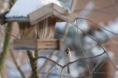 Евроазиатская птица воробья дерева Стоковые Фото
