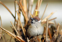 Евроазиатская птица воробья Стоковое Фото