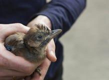 Евроазиатская птица jays на человеческих руках Птица glandarius Garrulus молодая Стоковые Изображения