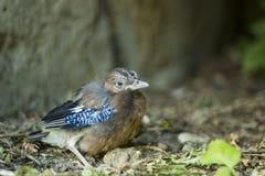 Евроазиатская птица jays Птица glandarius Garrulus молодая Стоковое Изображение RF