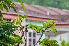 Евроазиатские воробьи дерева в дожде Стоковые Изображения RF