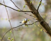 Евроазиатские голубая синица или caeruleus Cyanistes Стоковое Фото