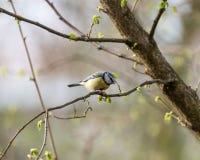Евроазиатские голубая синица или caeruleus Cyanistes Стоковое фото RF