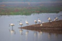 Евроазиатские колпицы стоя в озере в Keoladeo Гане Nationa Стоковые Изображения RF
