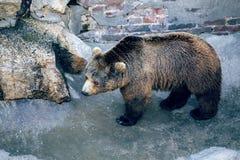 Евроазиатские arctos Ursus бурого медведя на зоопарке Белграда Стоковые Изображения