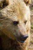 Евроазиатский бурый медведь Стоковое Изображение RF