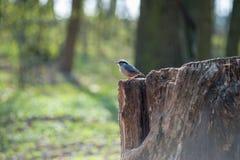 Евроазиатский воробей дерева сидя на пне стоковое фото rf