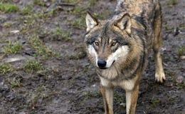 Евроазиатский волк Стоковые Фото