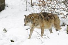 Евроазиатский волк Стоковая Фотография