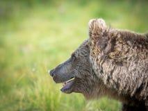 Евроазиатский портрет бурого медведя Стоковое Изображение RF